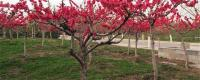 碧桃属于常绿还是落叶