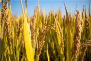 水稻施肥过多怎么办