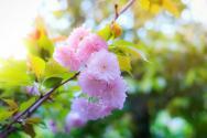 樱花是落叶乔木还是常绿乔木