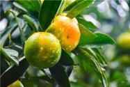 桔子树怎么施肥