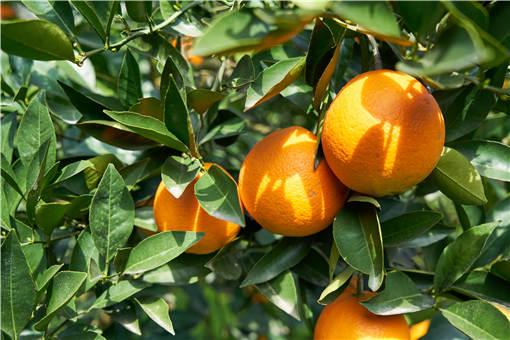 橙子什么时间种最好?附详细种植方法