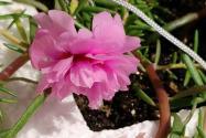 太阳花靠什么传播种子?