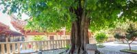 菩提树能活多少年?