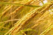 水稻怎样才能卖出好价钱?这个门道必须弄懂!