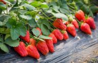如何种植草莓才能高产?出现不结果现象该怎么办?
