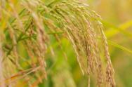 水稻育苗要点和需肥规律介绍