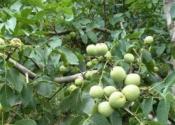 核桃树一般什么时候栽种?人工授粉方法有哪些?