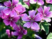 锦葵种子价格及种植方法介绍