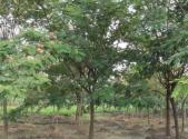 合欢树枯萎病的症状和防治方法介绍