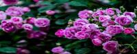 蔷薇在东北怎么过冬