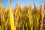 我国粮食安全问题都有哪些?此次发布的粮食安全白皮书说了什么?