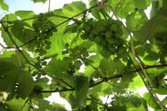 葡萄树最佳结果时间是什么时候