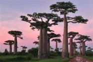 猴面包树几年结果