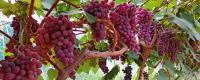 无籽葡萄应该怎么种?