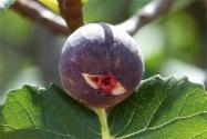 日本紫果几年结果