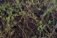 软枣树种植几年能结果?