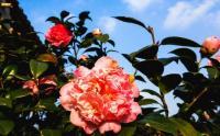 山茶花和杜鹃花的区别