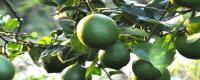 柠檬果树几年结果