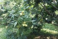 碧根果树几年结果