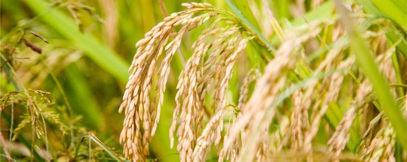 水稻和稗草的区别