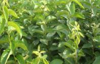 现在软枣树苗价格多少钱一棵?几年才会结果?