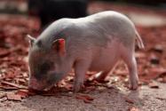 猪肉价格持续上涨,此后供应还会紧张吗?养猪政策有何变化?