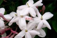 素罄花与素馨花的区别