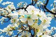 李子花和梨花的区别