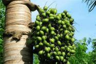 槟榔树种植几年结果?