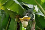 香蕉没籽怎么种?