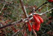 山茱萸籽怎么种?