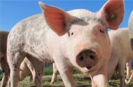 2019非洲猪疫扑杀补助什么时候发放?到哪里领取?