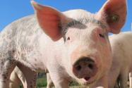 1头活猪抵押贷款1.25万!怎么贷款?流程是什么?