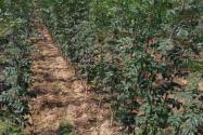 北方花椒籽怎么种