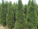 塔松树苗多少钱一棵?适合种在什么地方?