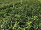 无核沃柑苗多少钱一棵?种植管理难度有哪些?