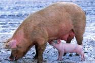现在农村养猪禁养了吗?2019-2020年农村还让养猪吗?
