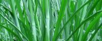 谷子与草的区别