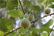 葫芦籽怎么种小盆栽