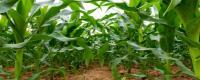 金园007玉米种子特征有哪些?