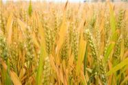 齐民6号小麦种介绍