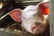 非洲猪瘟是从哪里传入中国的?