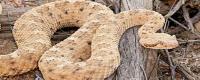 响尾蛇的介绍