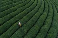 黄金芽茶叶价格多少钱一斤?有哪些禁忌?