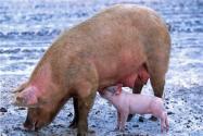 农村养猪散养户的新规定:养几头猪不违法?