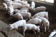 农村将禁止养猪?这五大区域禁止养殖!
