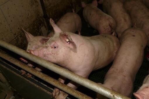 排列5云南 腾冲非洲猪瘟疫情严重吗?多久会结束?以后怎么预防?