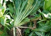 菊苣的别名叫什么?种子怎么种植?