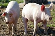 全国出台的促生猪生产政策有哪些?这10个方面含金量很高!