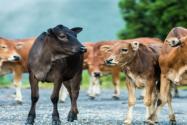 1头牛168万人民币:这是什么牛?为什么卖这么贵?